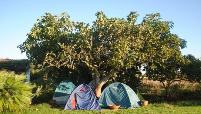 tälta under ett fikonträd